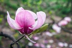 Okwitnięcie Magnoliowy drzewo Piękny różowy magnoliowy kwiat na naturalnym abstrakcjonistycznym miękkim kwiecistym tle Wiosna kwi Zdjęcie Royalty Free