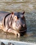 Olá! hipopótamo fotografia de stock