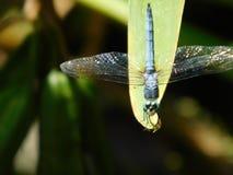 Olá! libélula Foto de Stock