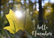 Olá! novembro Folha de bordo amarela solitária na grama no fundo borrado da floresta do outono em um dia ensolarado imagem de stock royalty free