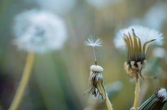 Olá! verão Belezas da natureza Dente-de-leão selvagem no dia de verão Sementes de flor do dente-de-leão que fundem afastado Blowb imagens de stock