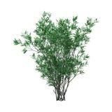 oléandre Bush du rendu 3D avec des fleurs sur le blanc Images libres de droits