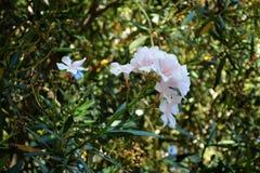 Oléandre de rose et blanc photographie stock libre de droits