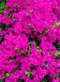 Oléandre rose de fleurs de buisson photos stock