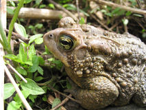 'Ol Toad Royalty Free Stock Images