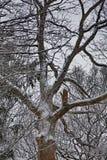 Olad dead oak tree in winter Royalty Free Stock Photo