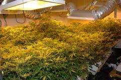 olaglig cannabisfabrik Royaltyfria Bilder