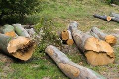 Olagligt klipp av träd för avsikten av stölden i de Carpathian skogarna royaltyfria foton