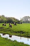 Olandese allacciata di Lakenvelder o mucche sopra Immagine Stock Libera da Diritti