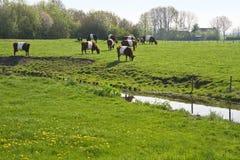 Olandese mucche di Lakenvelder o allacciata Fotografie Stock Libere da Diritti