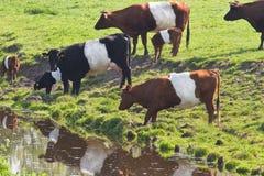 Olandese mucche di Lakenvelder o allacciata Fotografia Stock Libera da Diritti