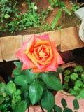 Olandese Rosa Fotografia Stock
