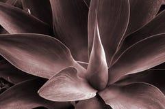 olbrzym agawa podbarwione Fotografia Stock