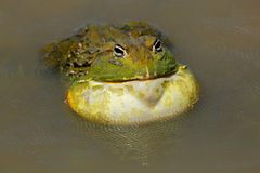 olbrzym bullfrog afrykańskiej Zdjęcia Stock