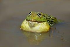 olbrzym bullfrog afrykańskiej Fotografia Royalty Free
