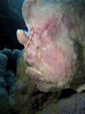 olbrzym frogfish Zdjęcia Royalty Free