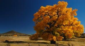 olbrzyma cottonwood drzewo Zdjęcia Royalty Free