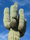 olbrzymi kaktus Obrazy Royalty Free