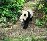 olbrzymia panda Zdjęcie Royalty Free