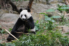 olbrzymia panda Obrazy Stock
