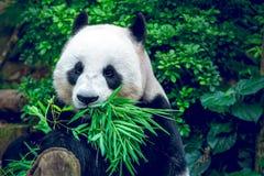 olbrzymia panda obraz royalty free
