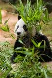 olbrzymia panda Obrazy Royalty Free