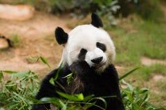 olbrzymia panda Zdjęcia Royalty Free