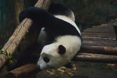 olbrzymia panda Zdjęcie Stock