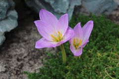 Сolchicum. Colchicum growing on a green background in garden Stock Photo