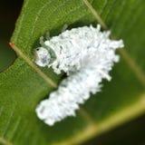 Olchowa sawfly larwa (Eriocampa ovata) Fotografia Royalty Free