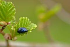 Olchowy liść z ścigi łasowaniem od liścia - Agelastica alni Zdjęcie Stock