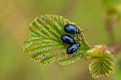 Olchowy liść z olchowymi ścigami - Agelastica alni Obraz Stock