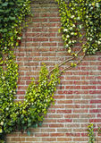 Old abandoned grunge brick wall with ivy Stock Photo