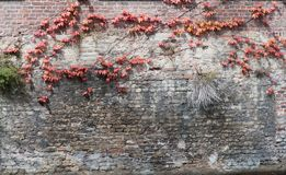 Old abandoned grunge brick wall with red and yellow ivy. Old abandoned grunge brick wall with dirty stains covered a bit with red and yellow ivy plant, with copy Stock Photo