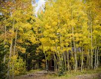 Old abandoned mining cabin in an Aspen forest Royalty Free Stock Image