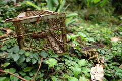 An old rusty rat trap on the green grass and soil. An old abandoned rusty rat trap in green environment which can be dangerous to wild animals royalty free stock photography
