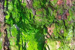 Old abrasive bark of pine with green moss, forest wooden texture. Winter, autumn, summer or spring time in the park. Old abrasive bark of pine with green moss Royalty Free Stock Images