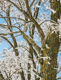 The old acacia in the snowfall Royalty Free Stock Photography