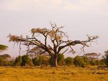 Old acacia tree Royalty Free Stock Photography