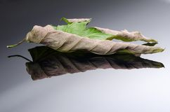 Old acer leaf Royalty Free Stock Images