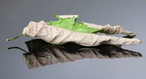 Old acer leaf Stock Image