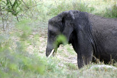 Old adult elephant Stock Images