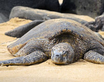 Big sea turtle Stock Image