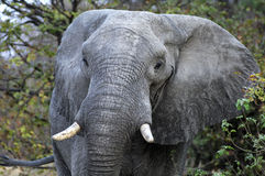 Old African Elephant Stock Photo