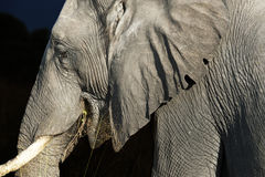 African elephant. Old african elephant with wrinkles and holes in the ear isolated on black stock photo