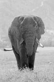 Old african elephant in black and white Stock Image