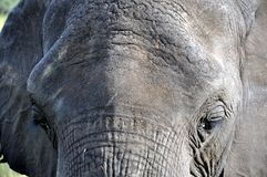 Old African Elephant Bull Facial Close Up. This close up photo of an old bull elephant was taken in Zimbabwe near the Botswana border. I've worked and lived Royalty Free Stock Photo