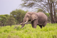 Old African Elephant in the Serengeti. An old African elephant walkis through the grasses of the Serengeti Stock Images