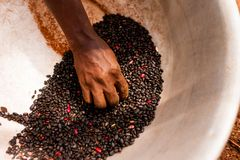Detail of skinny african woman hand holding black beans in pot while working in the farm in the countryside. Old african lady hand touching black beans in royalty free stock images