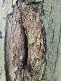 Old aged bark on a tree Royalty Free Stock Images